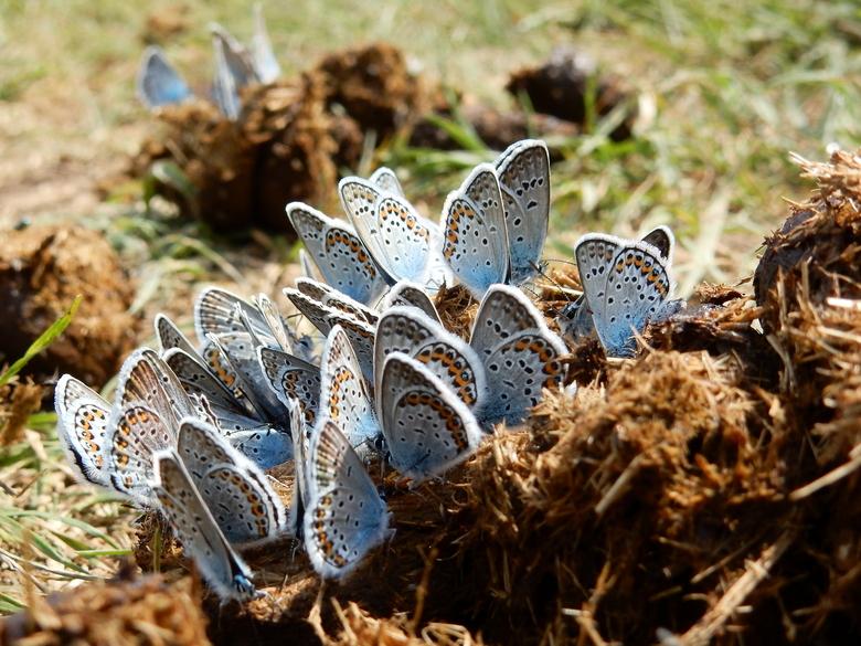 Heideblauwtjes op poep. Foto: Kars Veling, De Vlinderstichting
