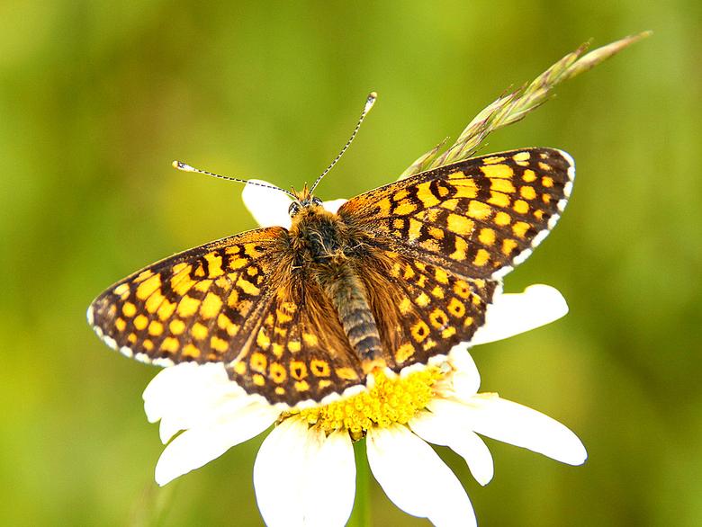 Veldparelmoervlinder. Foto: Michiel Wallis de Vries