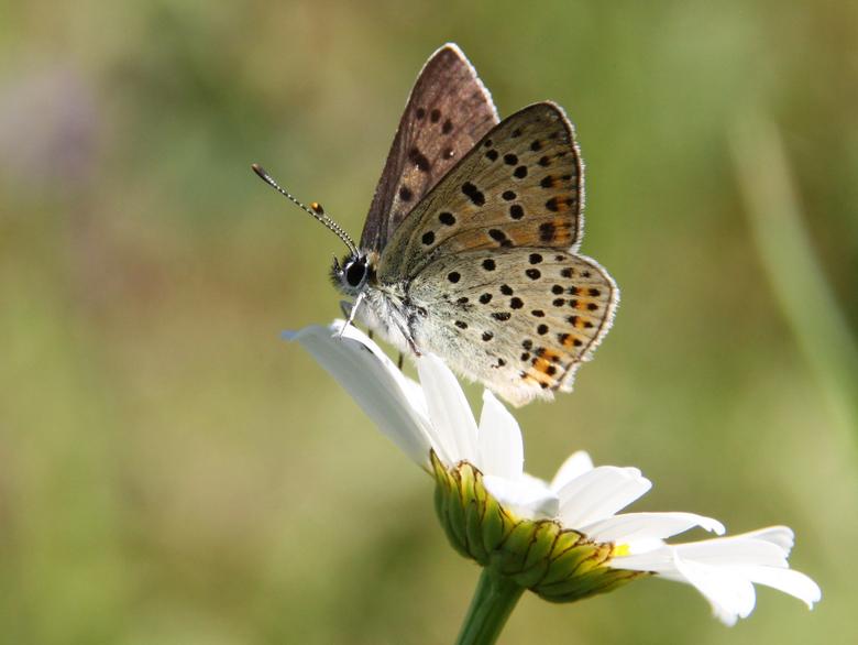 Bruine vuurvlinder. Foto: Michiel Wallis de Vries