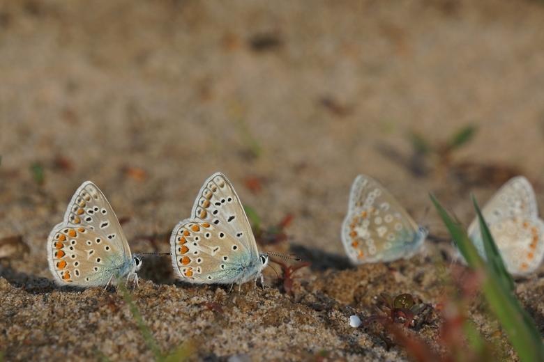Icarusblauwtjes op vochtige bodem. Foto: Twan Teunissen