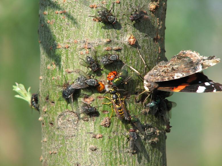 Vliegen, wesp, lieveheersbeestjes en Atalanta op bloedende boom
