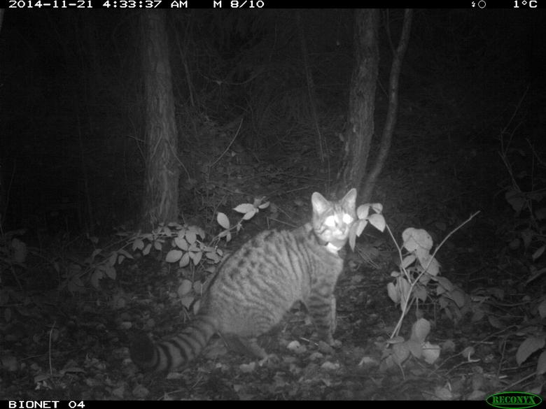 Cameraval en zenderonderzoek naar wilde kat Foto: Bionet Natuuronderzoek