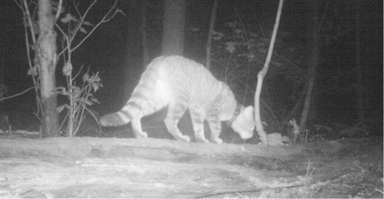 Gezenderde wilde kat, vastgelegd met cameraval