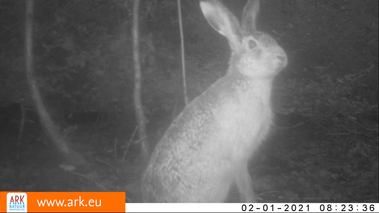 Ook een haas – nee, geen vroege paashaas – laat zich begin dit jaar zien op nieuwe beelden uit het Vijlenerbos