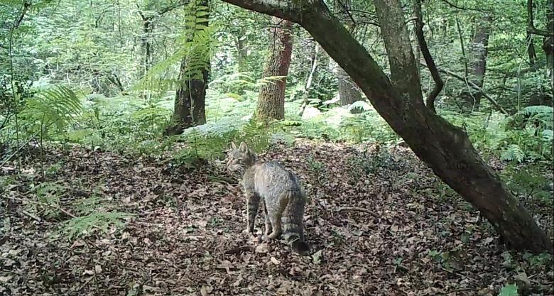 Wilde kat vastgelegd door cameraval in Zuid-Limburg