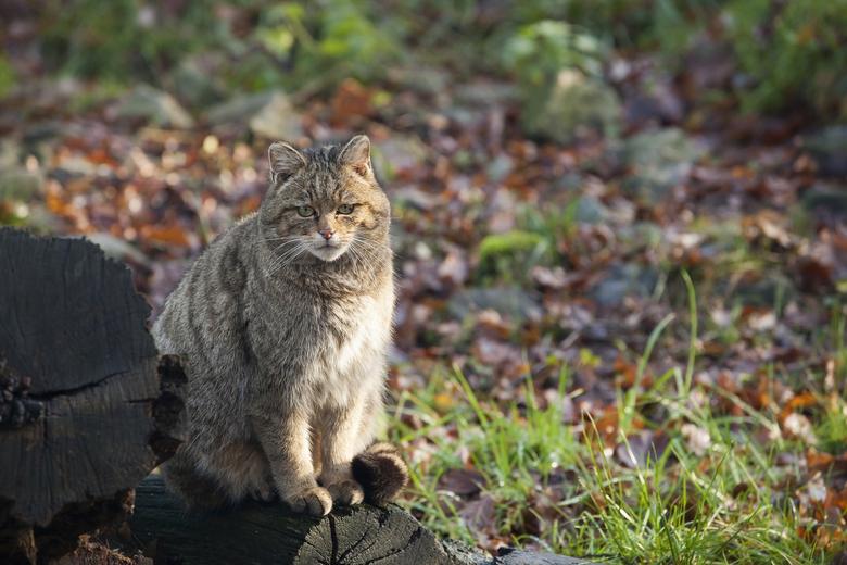 Wilde kat. Foto: Bob Luijks