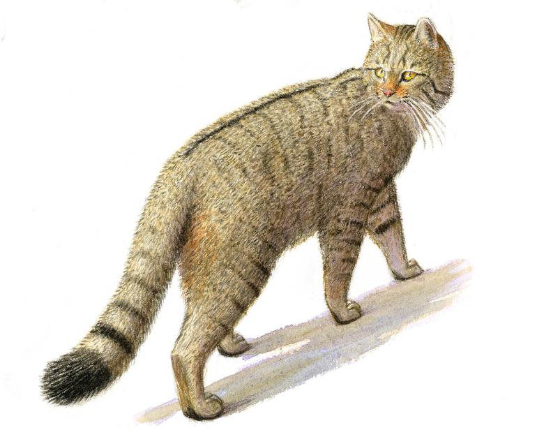Meer kansen voor de wilde kat in Zuid-Limburg