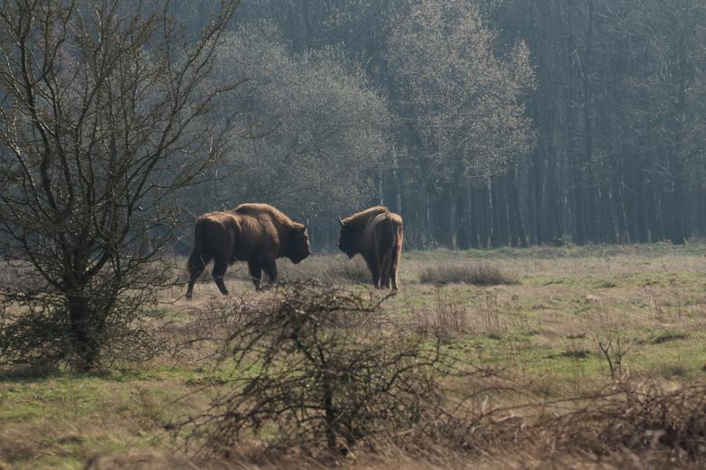 De wisenten verkennen hun nieuwe gebied. Foto: Roeland Vermeulen/FREE Nature