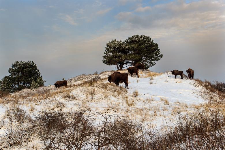 Wisenten in sneeuwlandschap. Foto: Ruud Maaskant