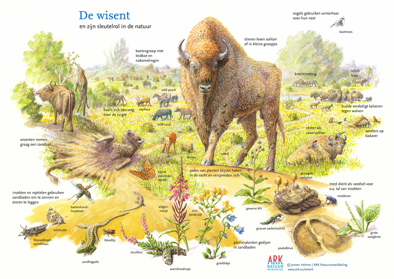 European bison role in ecology, by Jeroen Helmer