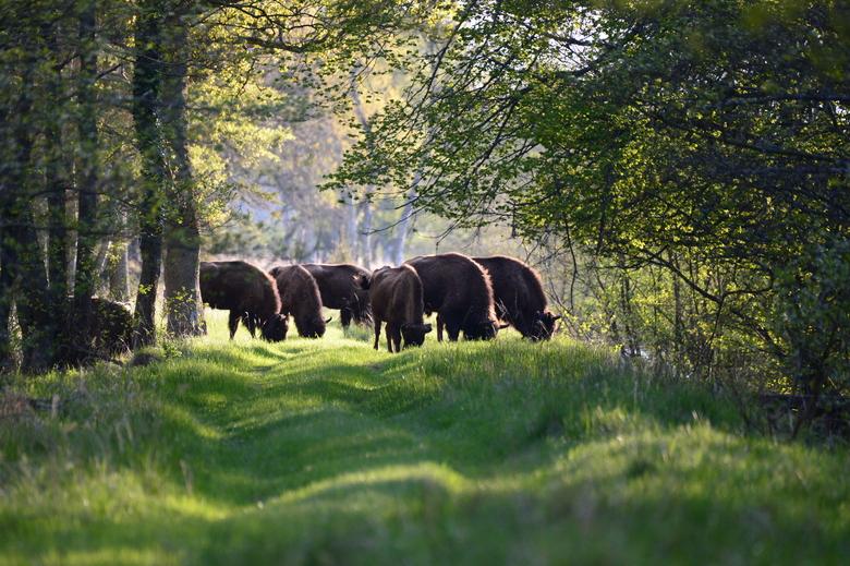 Wisenten in natuurgebied Lille Vildmose, hun nieuwe thuishaven in Noord-Denemarken. Foto: Lille Vildmose