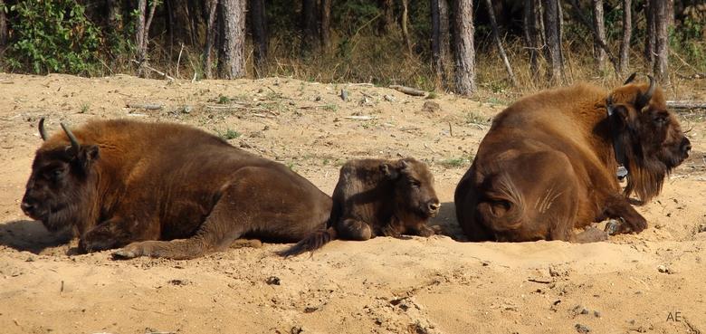 Drie van de wisenten op de Veluwe. Rechts de oudste koe met GPS-halsband. Foto: Yvonne Verhoef