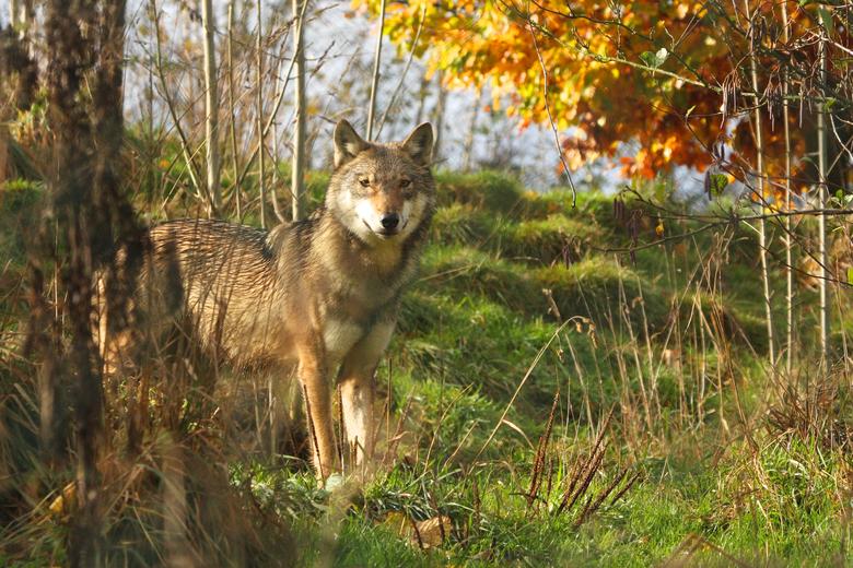 Door eeuwen van vervolging verdween de wolf uit ons land. Bescherming leidde tot herstel van aantallen en verspreidingsgebied.