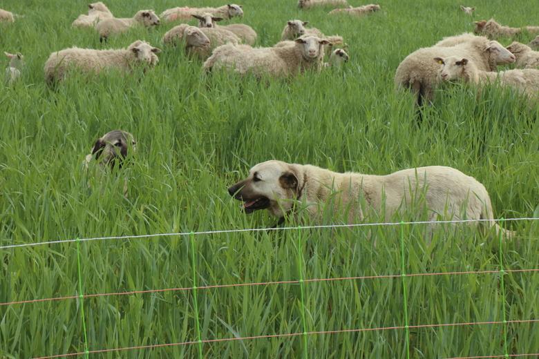 Bescherming van individuele kuddes maakt het samenleven van vee en predatoren door het delen van gebieden mogelijk.