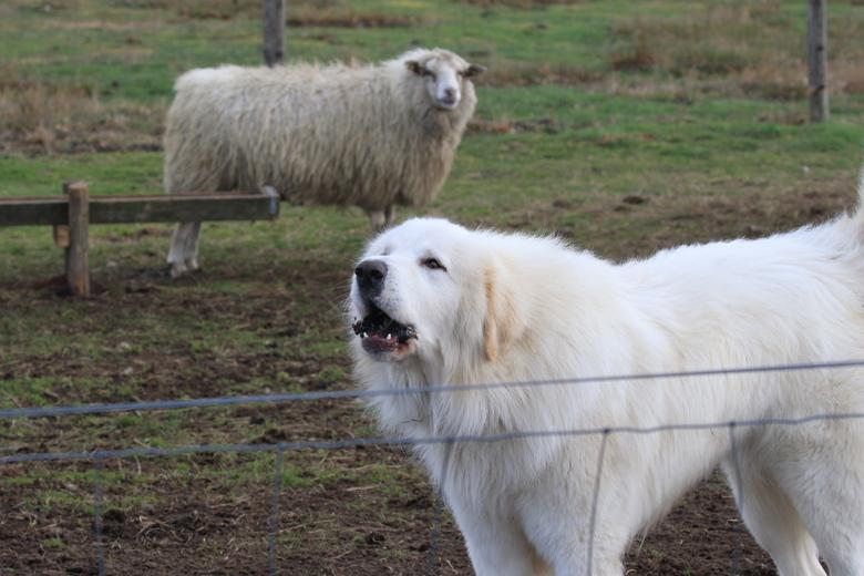 Deze kuddewaakhond in Nijverdal laat alvast weten dat zijn schapen goed beschermd zijn.