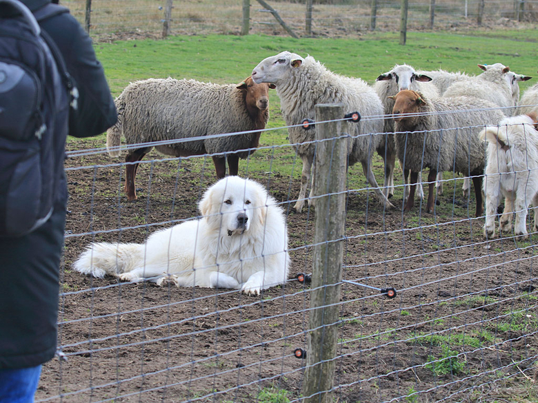 Deze kuddewaakhond lijkt hier ontspannen te rusten, maar is eigenlijk aan het werk. Door zich tussen bezoeker en kudde te plaatsen is hij er altijd op tijd bij als dat nodig mocht zijn en geeft hij tegelijkertijd het signaal af dat deze kudde beschermd is