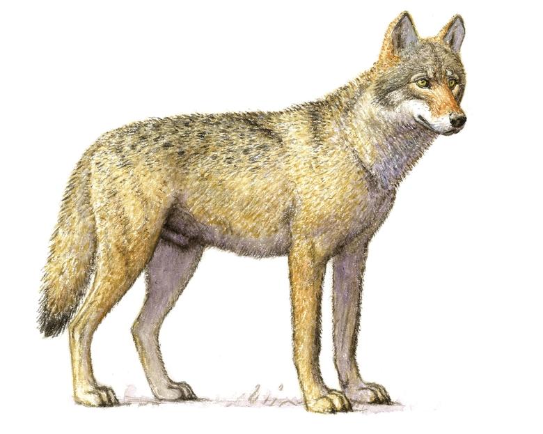 Wolf (Illustratie Jeroen Helmer)