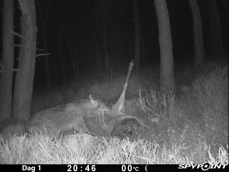Wolf eet van prooi. Aaseters profiteren van de wolf als aasleverancier.