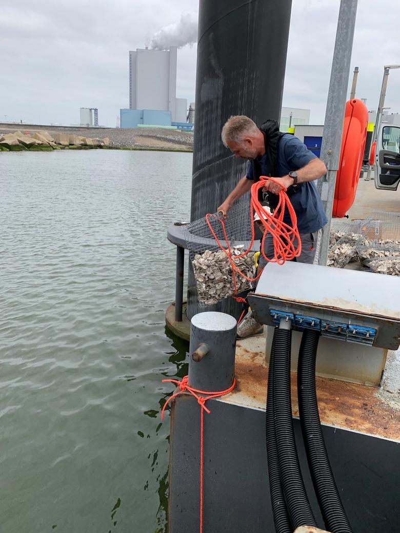 ARK'er Gijs van Zonneveld laat een 'tas' met lege oesterschelpen te water.