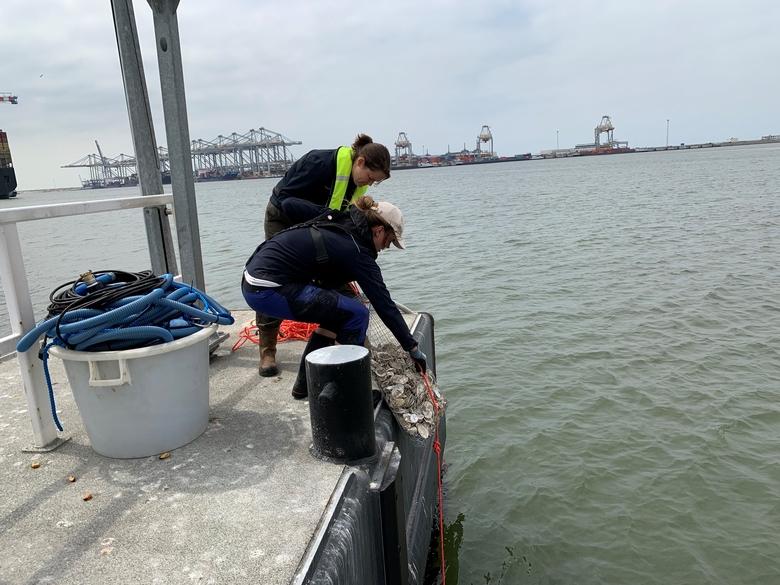 Oestertassen worden te water gelaten in de Haven van Rotterdam