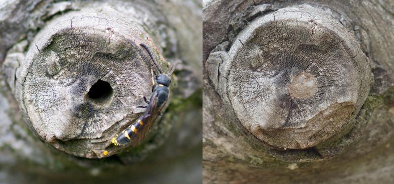Nest van een ranonkelbij voor en na het dichtsmeren met links een knotswesp, een parasiet