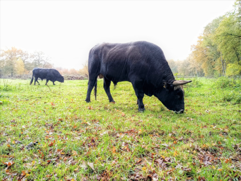 Vooral de stieren trekken al door het gehele gebied na de koppeling met Herperduin