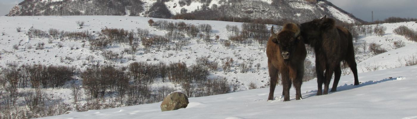 Wisenten in Bulgaarse Rhodopen