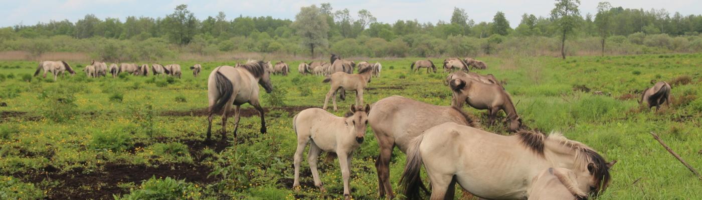 Konikpaarden in vallei Dviete