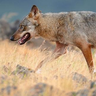 Wolf in de Rhodopen Foto Staffan Widstrand / Rewilding Europe