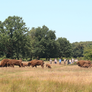 Wisenten en bezoekers in de Maashorst