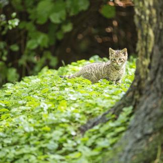 Wilde kat Foto Bob Luijks