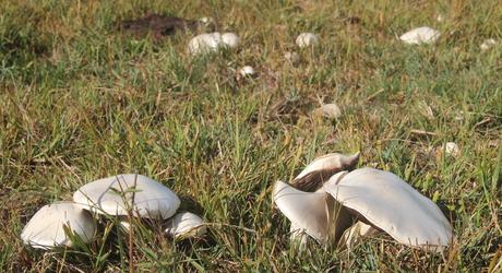 Weidechampignons in begraasd terrein