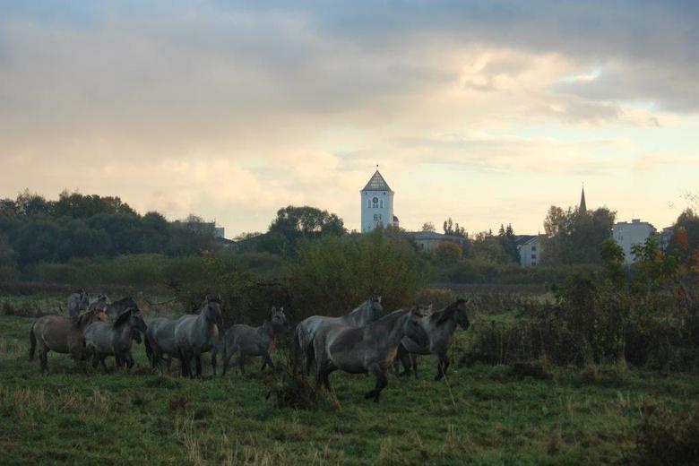 Koniks in Letland